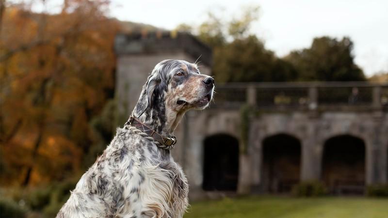 Gertie-English-Setter-at-Ilam-Park-Dog-Photographer-Rebecca-Goutorbepsd.jpeg