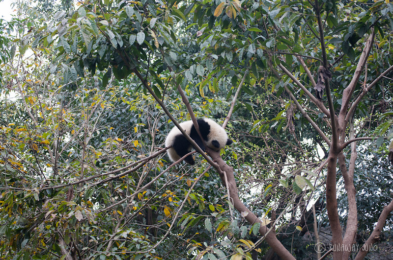 Panda_sleeping_on_the_tree_Chengdu_Sichuan_China.jpg