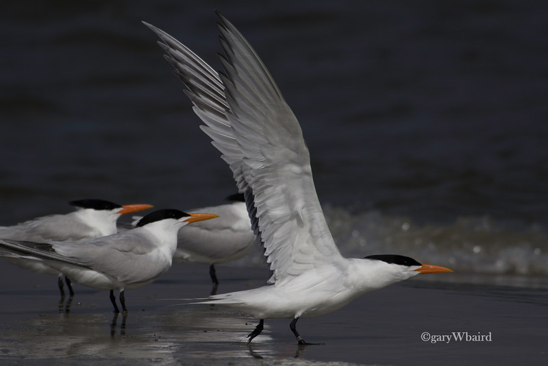 Royal Tern Lift-off