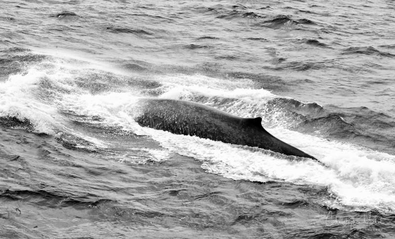 091203_blue_whale_6731.jpg