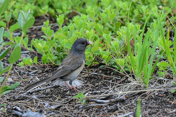 7-01-14 Dark-eyed Junco