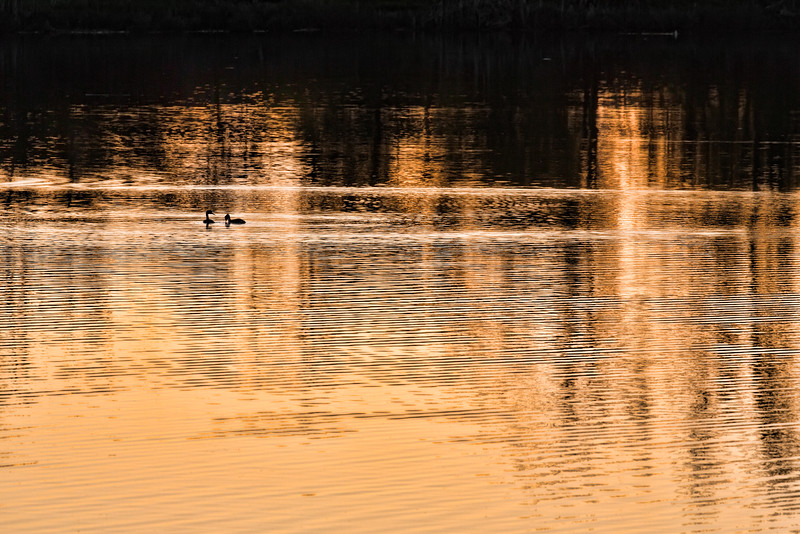 Grebes in Silhouette