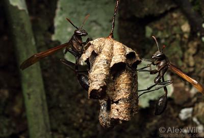 A Mischocyttarus paper wasp nest.  Jatun Sacha reserve, Napo, Ecuador