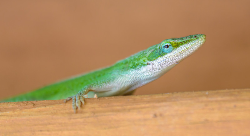 Anole #1