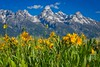 Grand Teton Wildflowers