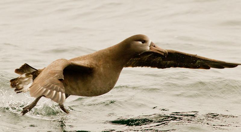 Black-footed Albatross    Monterey 2011 09 22-1.CR2