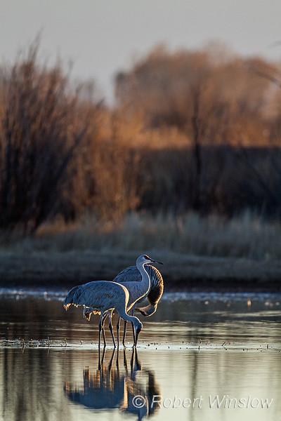 Sandhill Cranes, Grus canadensis, Bernardo State Wildlife Refuge, New Mexico, USA, North America