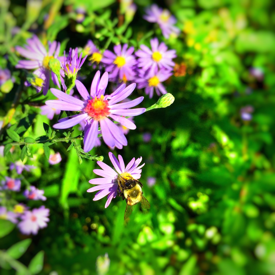 Bumblebee on Short's blue aster. Edited with Snapseed.