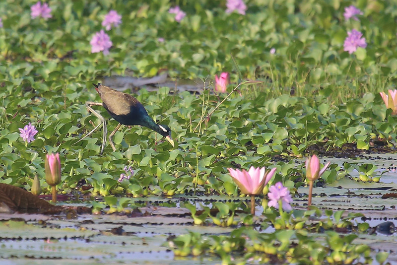 Bronze-winged Jacana (Metopidius indicus)