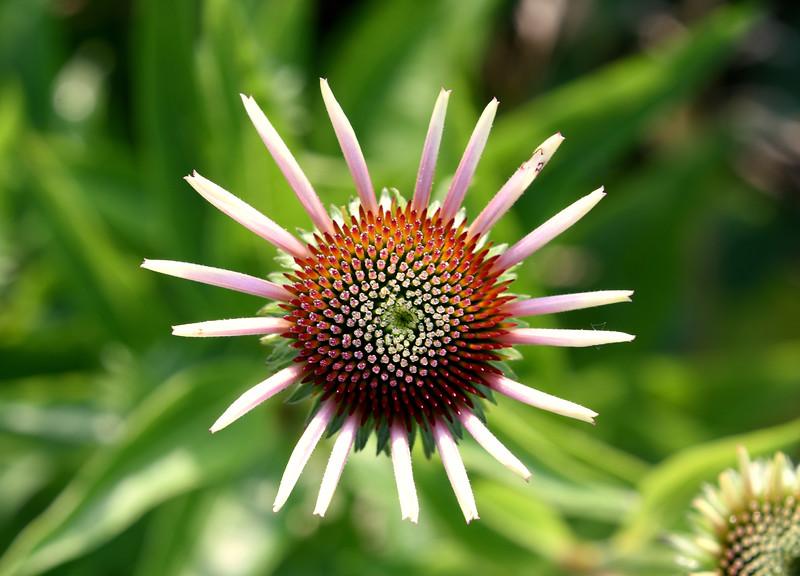 Echninaceae-purple-coneflower2.jpg