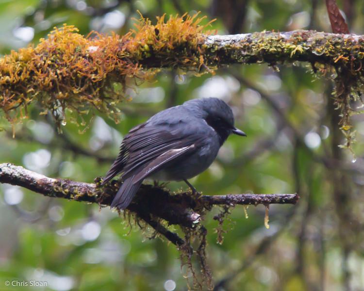 Black-throated Robin at Upper Tari Valley, Papua New Guinea (10-06-2013) 1725.jpg
