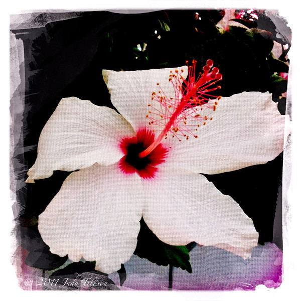 Hibiscus white 4458.jpg