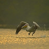 Great White or Rosy Pelican (Pelecanus onocrotalus) taking off in a lake in Bharatpur bird sanctuary.