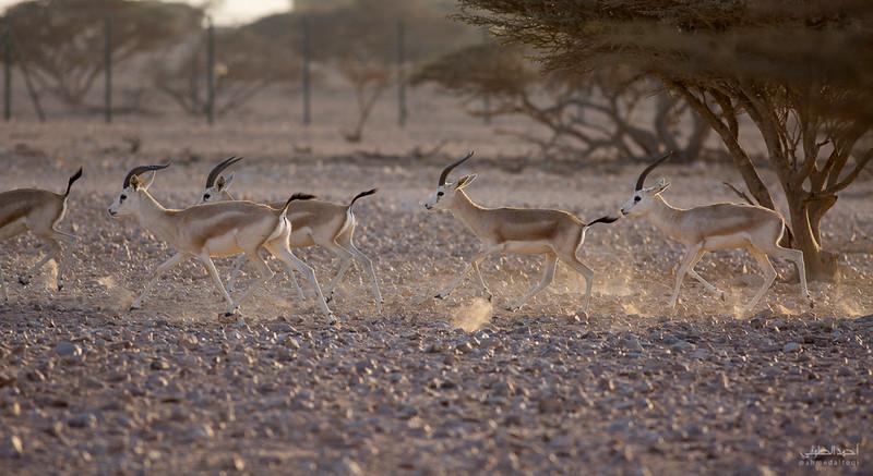 Gazelle (15).jpg