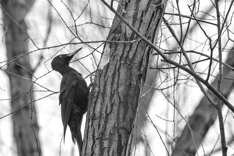 dzięcioł czarny | black woodpecker | dryocopus martius