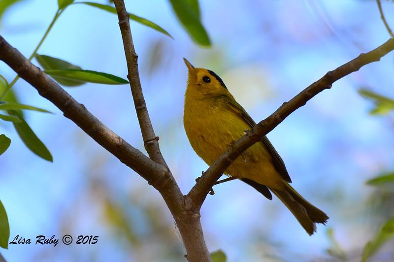 Wilson's Warbler - 2/15/15 - Nestor Park