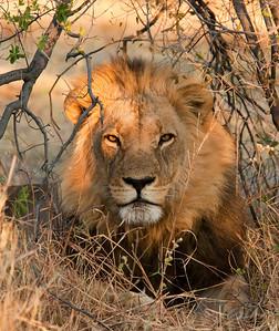 Cats of Botswana 2012