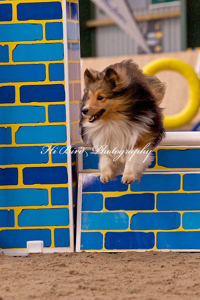 small dog agility 1138.jpg