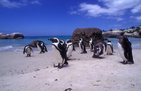 פינגווין 3.jpg