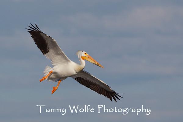 Pelican, American White