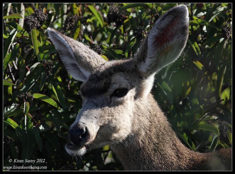 Close up of Mule Deer, Lake Jennings, San Diego County, California, January 2012