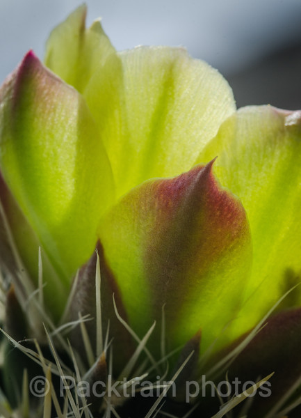 Green Cactus Flower - GCF -1