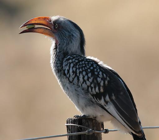 Hornbill Botswana 2008 2010