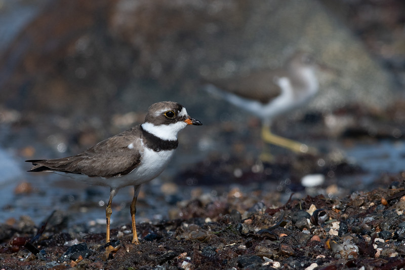 Semipalmated Plover & Spotted Sandpiper