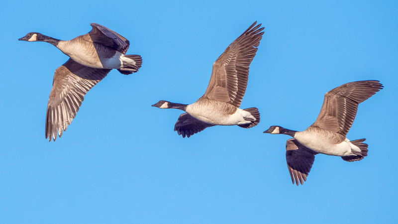Geese Aloft