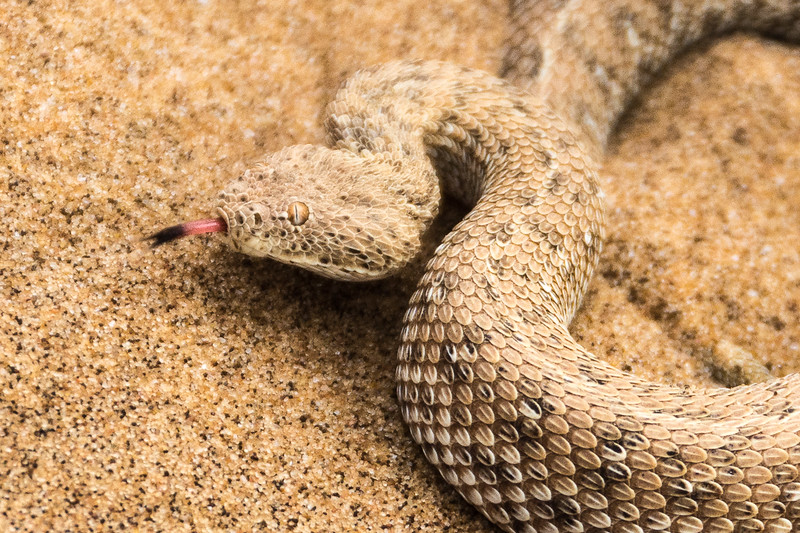 Viper snake.  Very deadly.