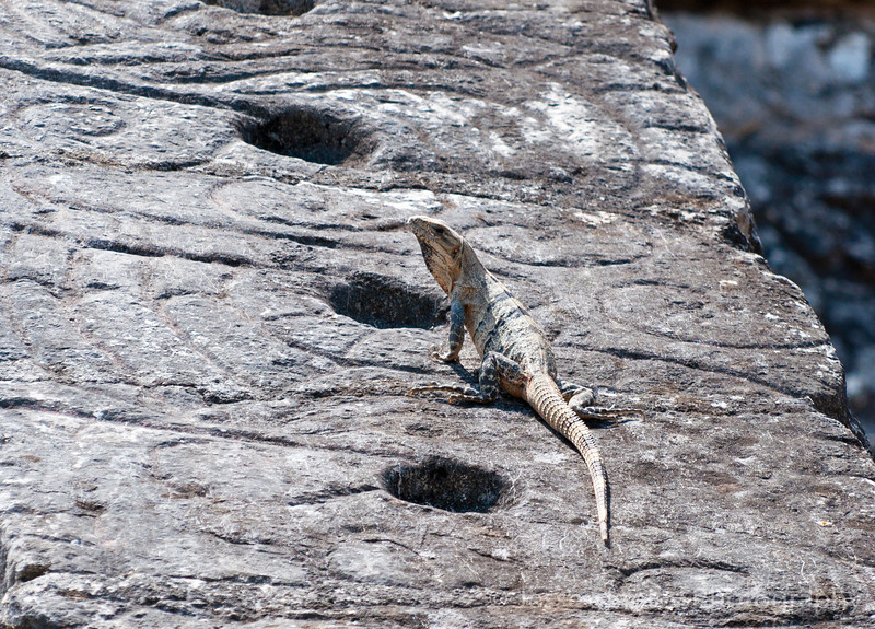 Iguana on the Ossario, Chichen Itza