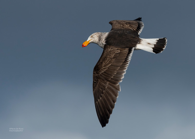 Pacific Gull, Eaglehawk Neck Pelagic, TAS, Dec 2019-2.jpg