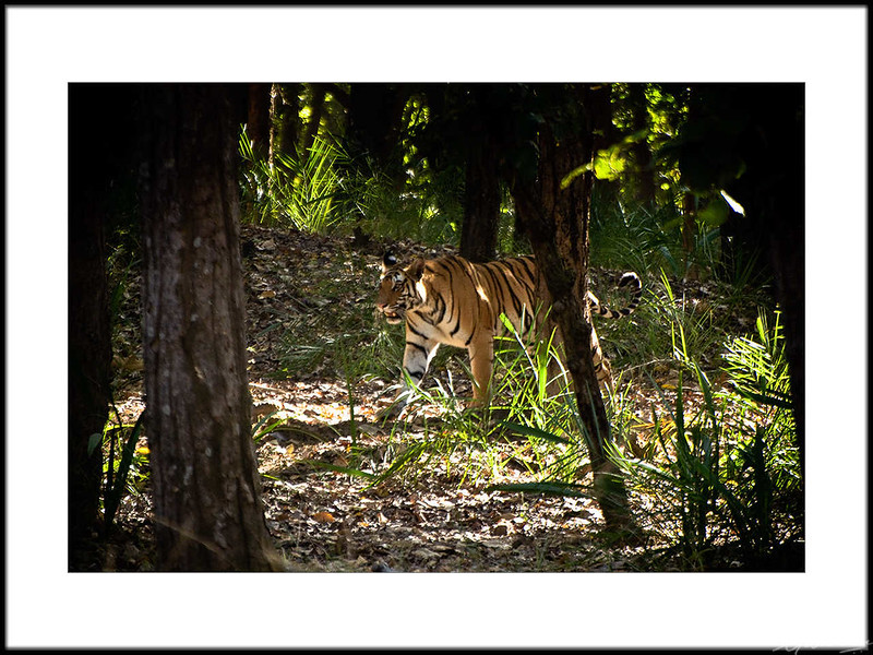 03: Bandhavgarh tiger sighting