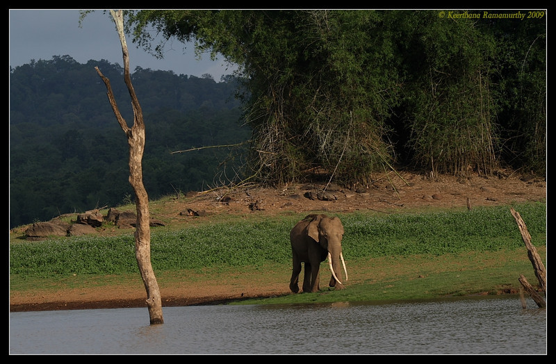 Tusker returning after quenching thrist, Kabini, Mysore, Karnataka, India, June 2009