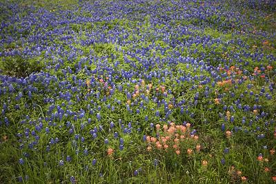 Texas Bluebonnets - April 2007