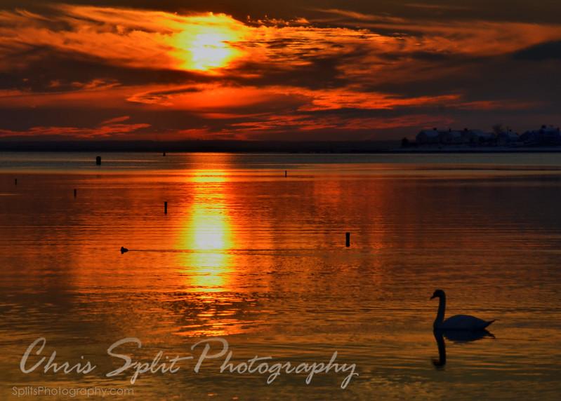 swan sunset.jpg