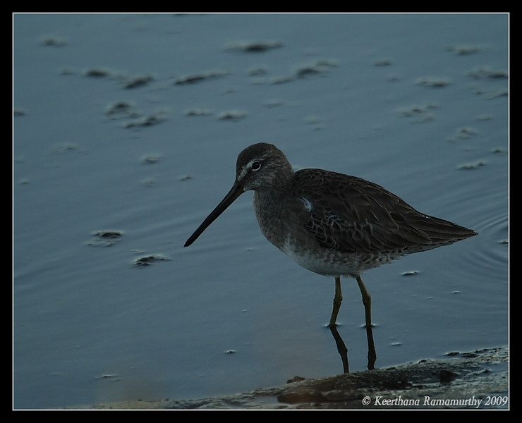 Short-Billed Dowitcher, Tijuana River Estuary, San Diego County, California, January 2009