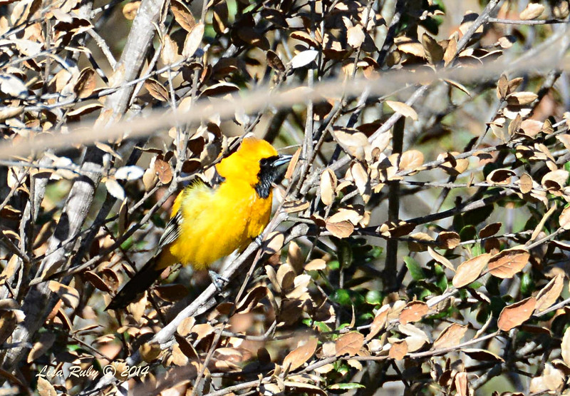 Hooded Oriole - 3/30/14 - Lake Hodges,Lake Drive