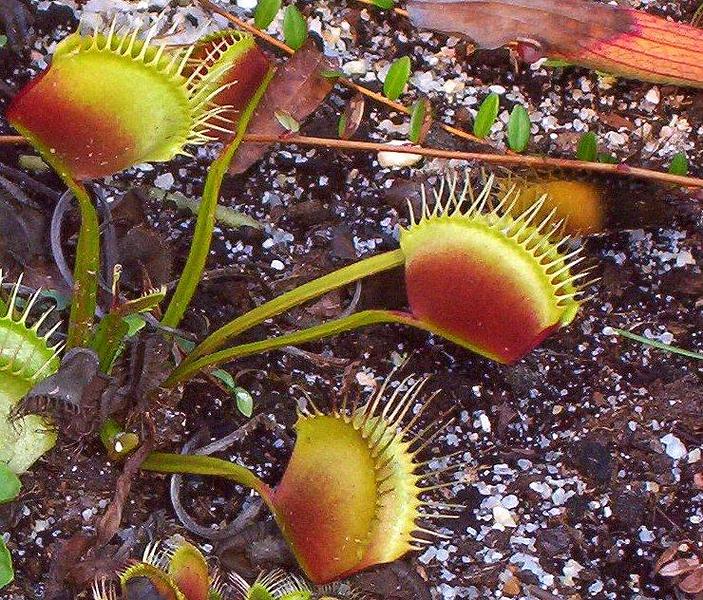 1663705899-Dionaea-muscipula-detail.jpg