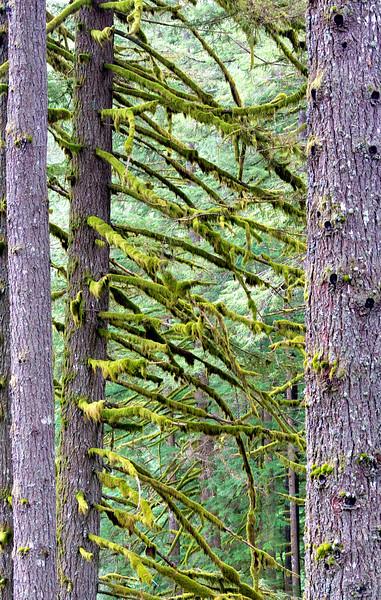 Heavy moss decorates Oregon trees.