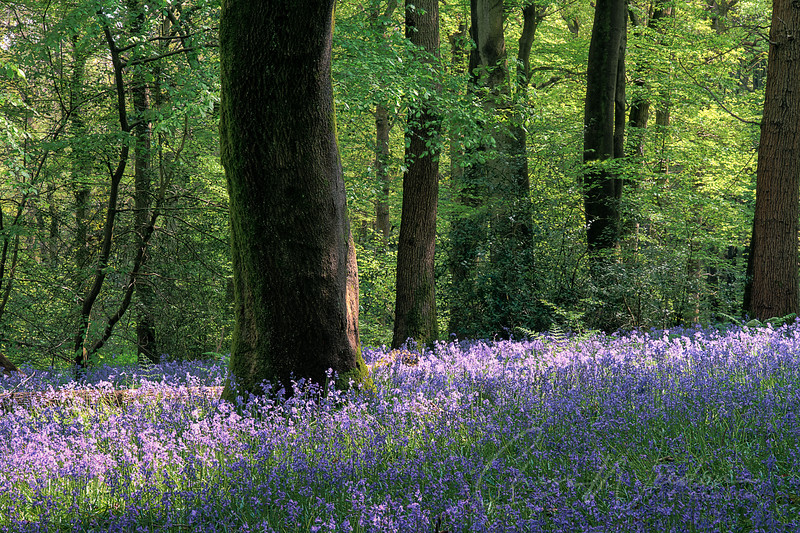 bluebells, Staffhurst wood-16_tonemapped.jpg
