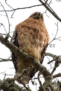 Hawk  004