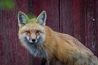 Foxes II