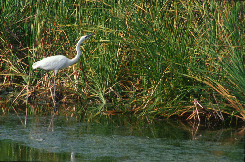 Great White Heron Florida Everglades bird SLIDE SCAN 3.jpg