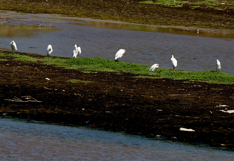 A row of 8 Snowy Egrets