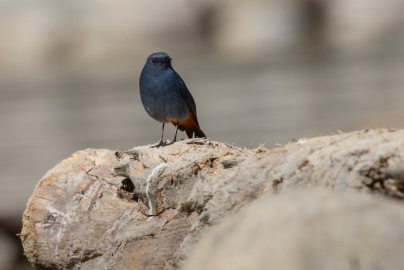 Pumbeous-Water-Redstart.jpg
