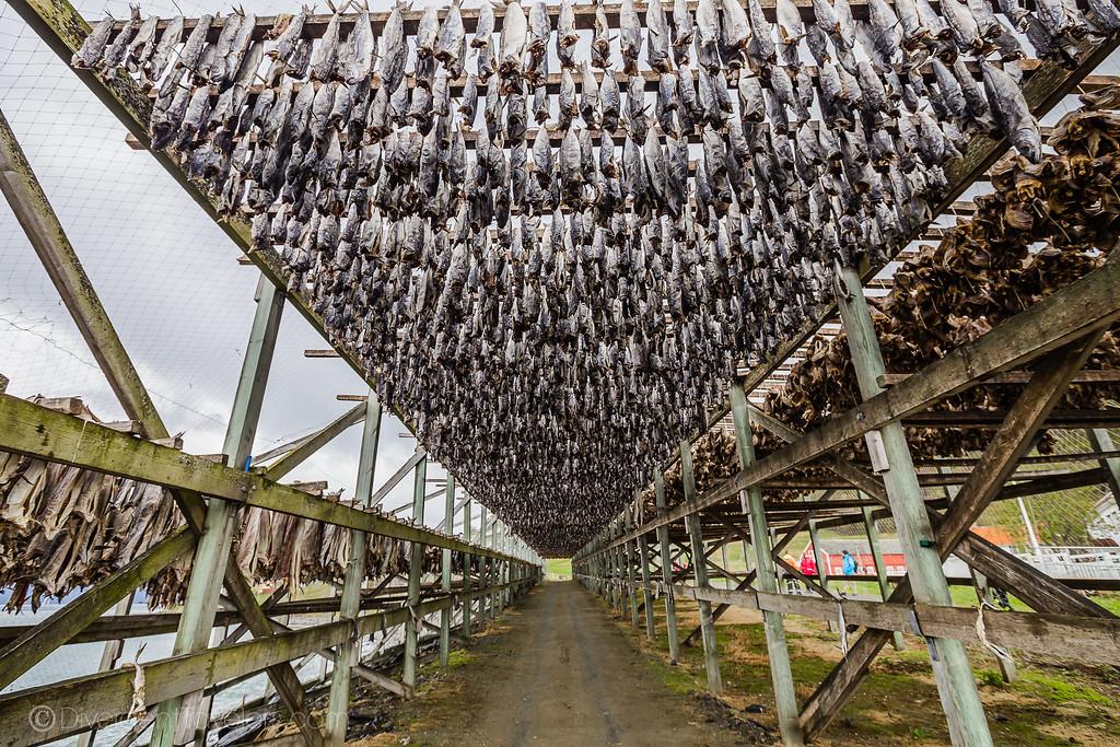Norway photos - Stock Fish - Lina Stock