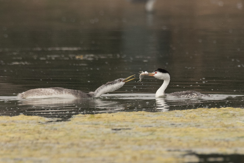 Just kidding, Clark's Grebe offereing a fish to its chick right before pulling away and swimming off with the fish.