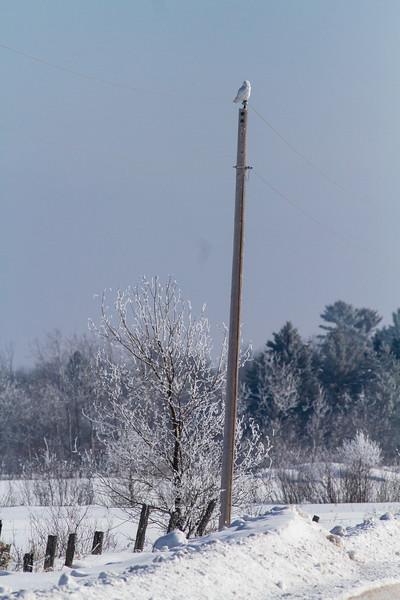 Snowy Owl mature male CR226 near Hwy 29 SW of Meadowlands MN Sax-Zim Bog MN -1611.jpg