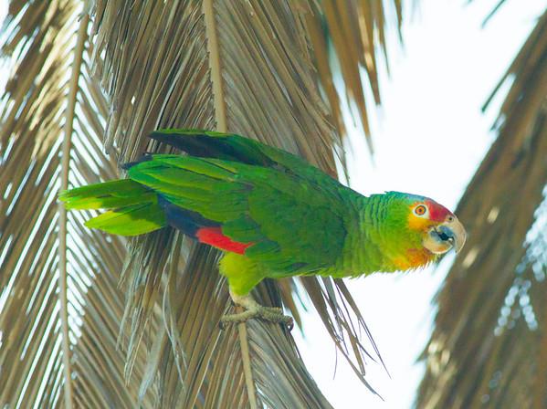 Red-lored Parrot (Amazona autumnalis)
